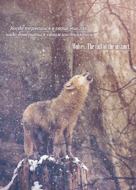 Волки. Инстинкт зовет!